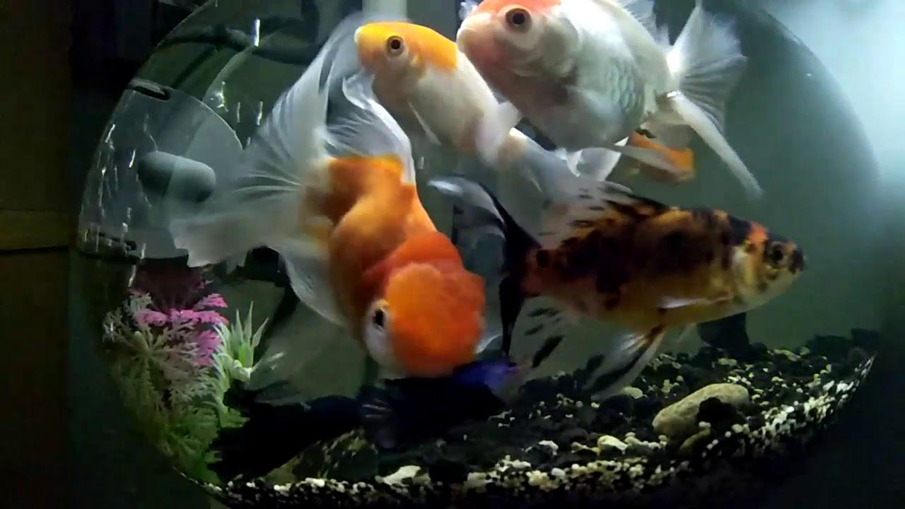 Ikan Koki Aquarium Bulat Simple Design Youtube