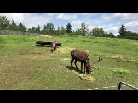 Reindeer Dreaming