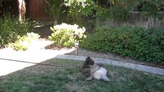 "Fabdogz Training - Fab Puppy Training, ""sit"" And ""down"" With Keeshond Puppy."