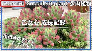 223{多肉植物}乙女心 成長記録 Succulent
