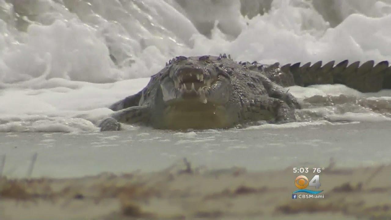 Crews Capture Crocodile On Hollywood Beach