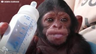 Baby Chimp Drinks From Bottle Every Day | The Dodo