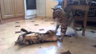 Love, gently Bengal cats / любовь, нежность, бенгальские коты