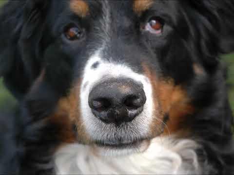 Laken Tribute  Bernese Mountain Dog