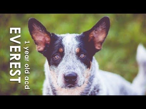 EVER australian cattle dog - 1'st birthday