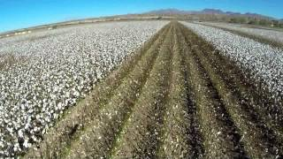 VIP Farms Thatcher Arizona  NPE harvest 2013
