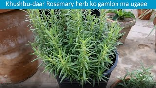 Baixar Herb Rosemary grown in pots | Urdu/Hindi