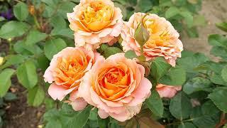 Лучшие розы флорибунды в моём саду - Vivienne Westwood Henrietta Barnett.