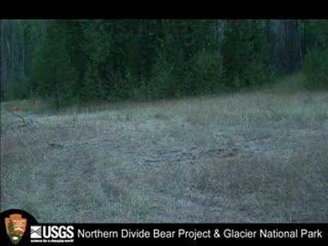 Grizzly Bear with Cubs Charges Wolf