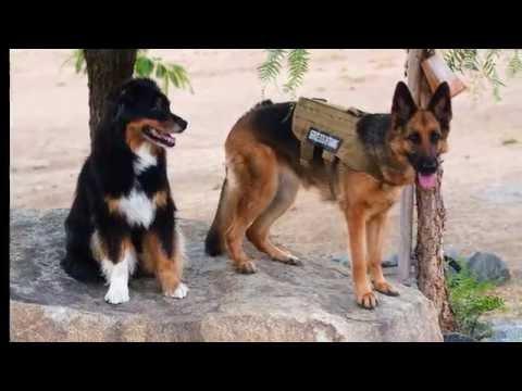 Service dog training and Emotional Support Dog.