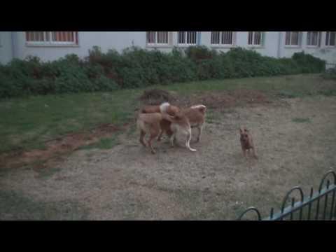 Canaan Dog jumping slow motion