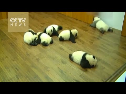 """Panda cubs made a group debut, and one needs to refine his """"make-up""""!"""