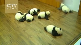 "Panda cubs made a group debut, and one needs to refine his ""make-up""!"