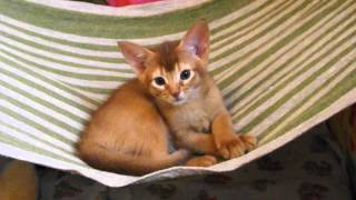 Абиссинский котенок (ABY o)