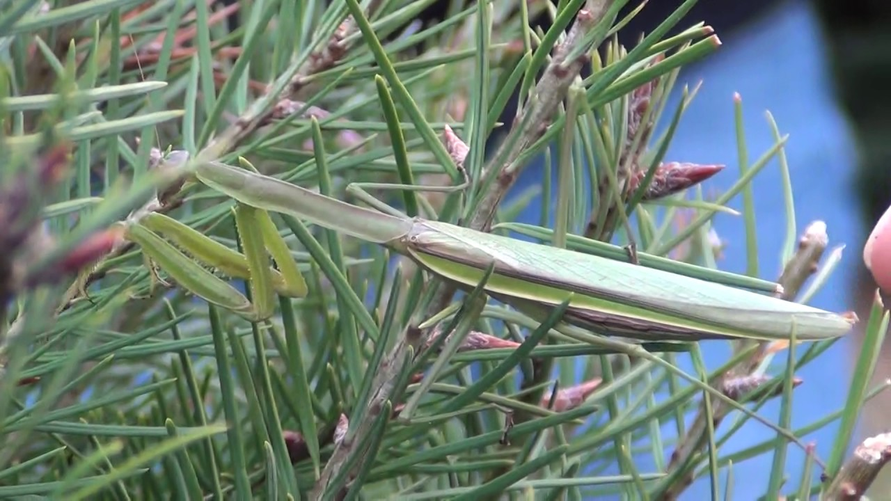 Praying Mantis in a Christmas Tree - YouTube