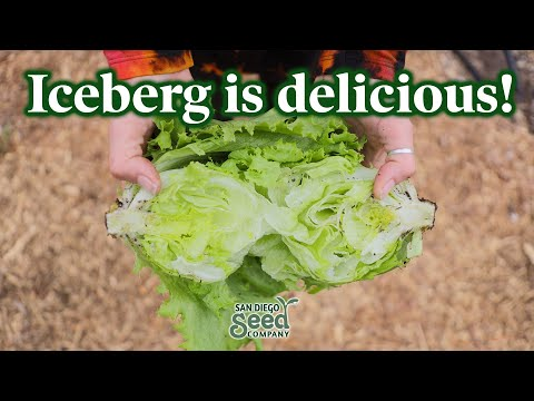 You've NEVER had iceberg lettuce like this | How to PLANT, GROW & HARVEST the best green salad