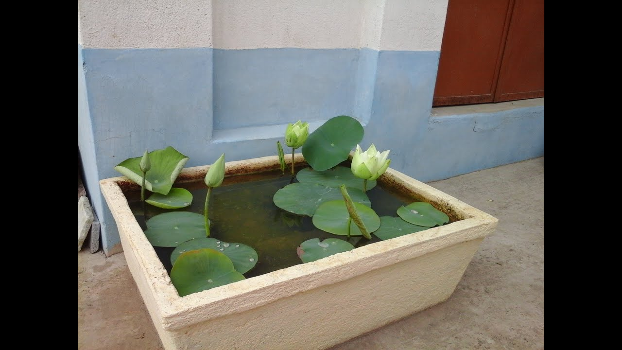 How To Plant Lotus At Home With Roots Collection Youtube