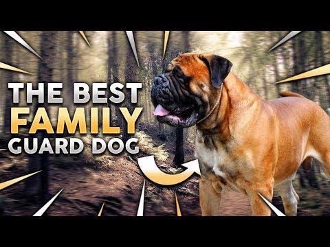 BULLMASTIFF! The Best Family Guard Dog!?