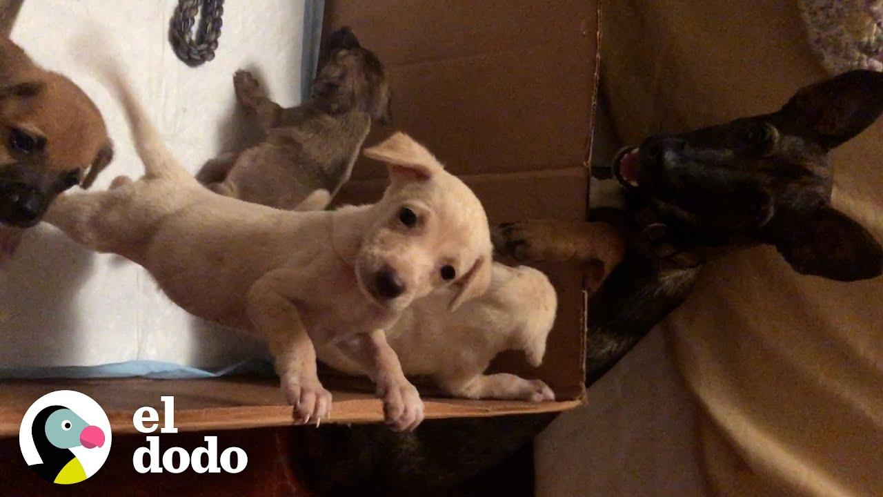 Cachorros menean la cola sin parar cuando se reencuentran con mamá I El Dodo   El Dodo