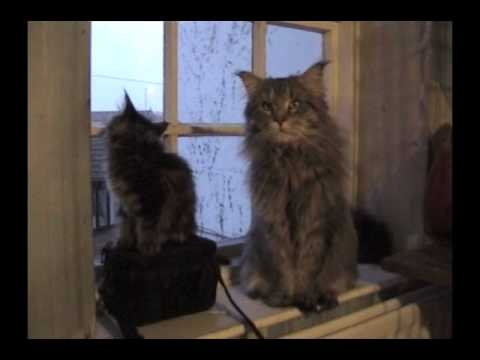 GIANT HUGE 12kg/30lb MAINE COON daddy with his Litter