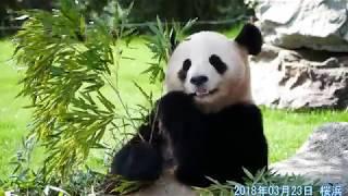 【パンダ】🐼朝一番の桜浜🌸【panda】 thumbnail