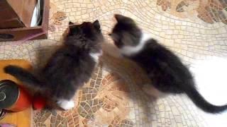 Шотландские котята скоттиш-страйт играют с дразнилкой
