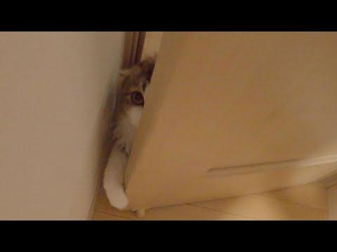 とびきり可愛くて甘えん坊なもふ猫の朝をお見せします。モーニングルーティン| 鳴き声