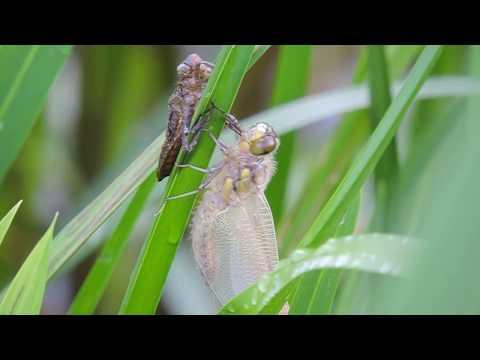 Личинка превращается в стрекозу