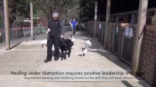 Acp Part-time Dog Trainer Course - Heeling Through Small Dogs