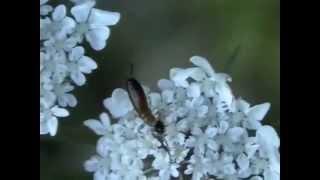 Forficula auricularia (Forficulidae Dermaptera) 01