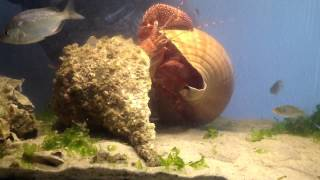 Moving day for Sebastian the giant hermit crab.
