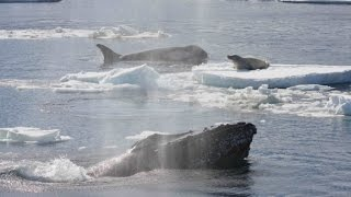 Humpback whales could be the superheroes of the ocean