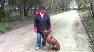 Дрессировка собак, вопрос - ответ, движение рядом на поводке без корма