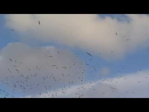 Hundreds of Sea Gulls flying over Dubai Creek 24.01.2020