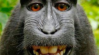 Комичные Обезьяны. Самая Смешная Подборка Приколов(Обезьяны | Веселое видео с обезьянами | Смешные обезьяны | Интересные обезьяны | Прикольные обезьяны., 2015-09-30T11:21:55.000Z)