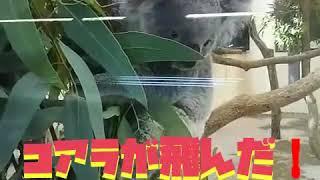 東松山こども自然動物公園で見た  コアラにびっくり.