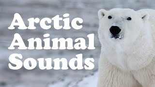 🐺 Learn Arctic Animal Names and Sounds  for Children 🐺