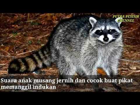 Suara Anak Musang Pandan Cocok Buat Pikat Indukan Youtube