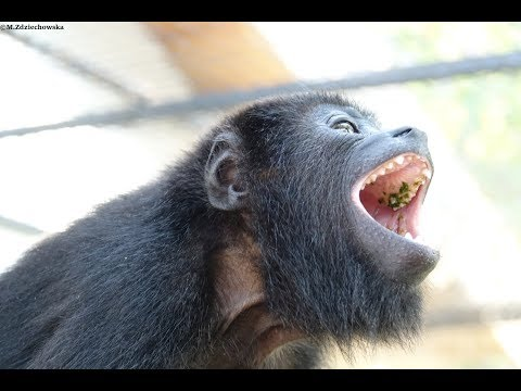 When a baby monkey gets angry