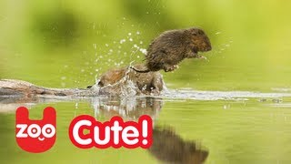 Water Vole: Endangered UK Animal Needs Protecting