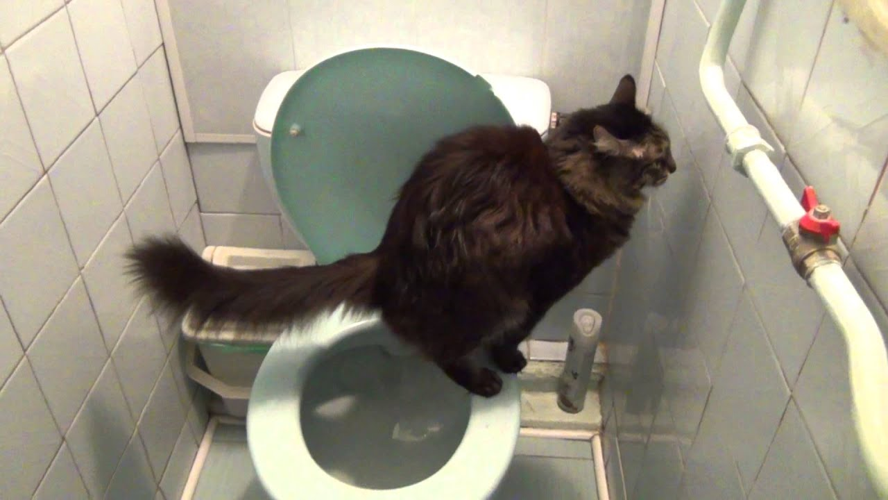 Как кот в туалет ходит видео