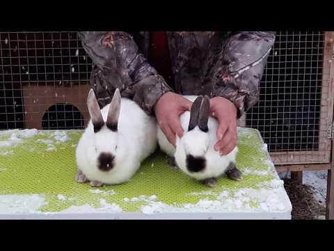 Как отличить породистого кролика от смесового