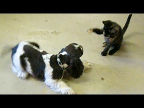 Somewhere, A Cocker Spaniel Puppy Plays With Kittens In Heaven