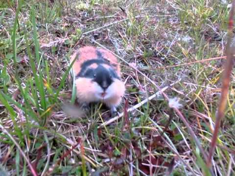 Angry lemming attacking camera