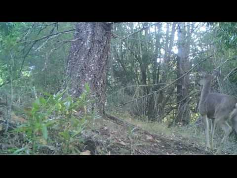 Deer calling