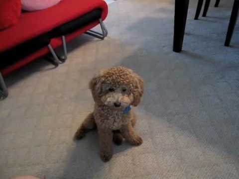 Cute brown poodle puppy BB doing cool tricks (v.2)聰明的紅貴賓