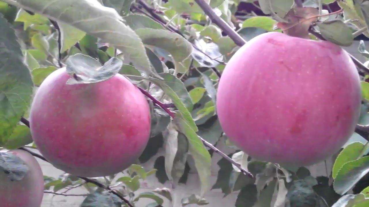 яблоки макинтош фото
