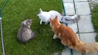#15 Мейн куны и сибирская кошка на улице