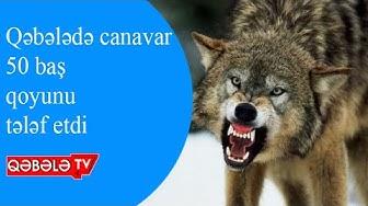 QƏBƏLƏDƏ CANAVAR KƏNDƏ HÜCUM EDİB - QƏBƏLƏ TV