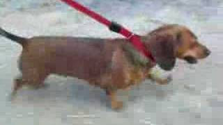 Mini Doxies walking on leash to the tune of Rawhide. Miniature Daschunds.